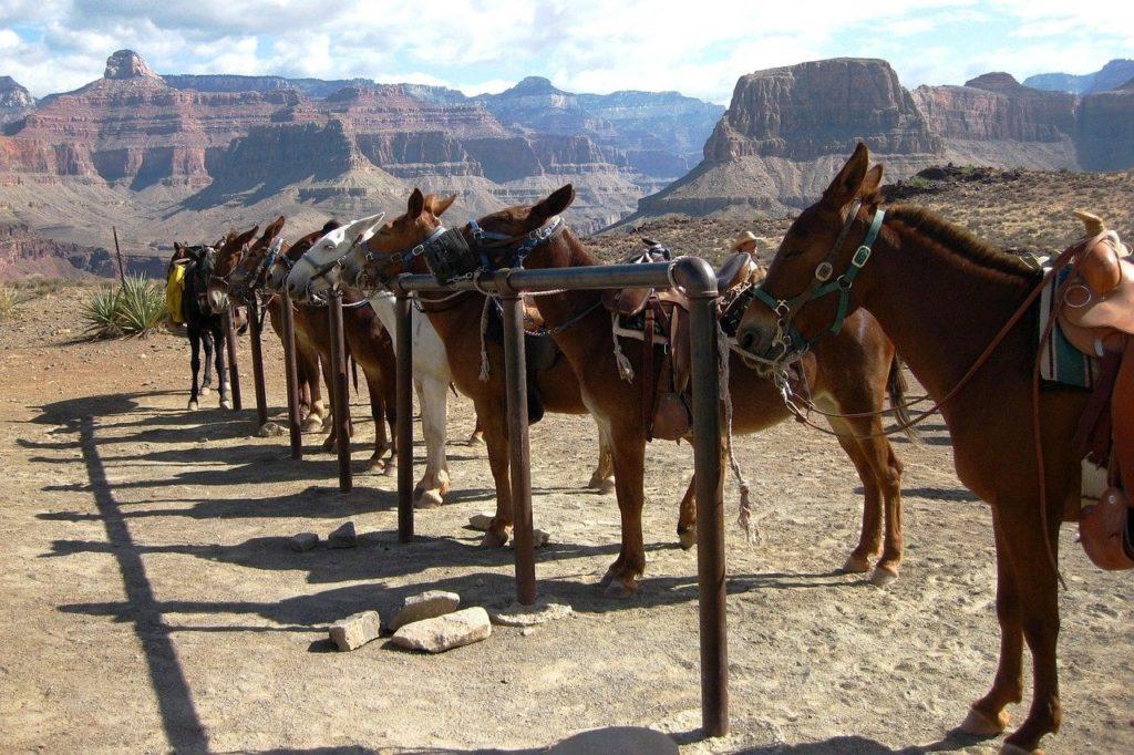Mule Rides at the Grand Canyon South Rim