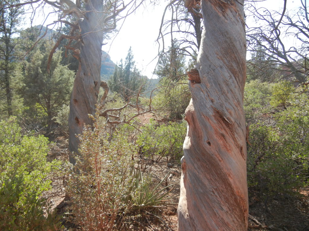 Is it the vortex that makes these tree trunks twisted?