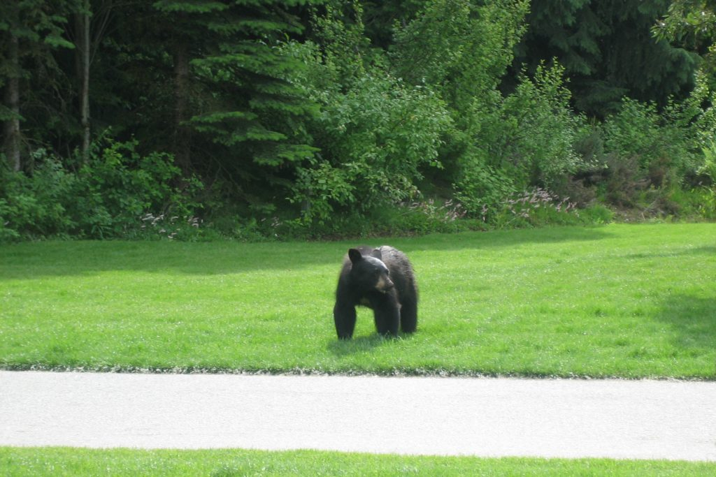 A baby bear crossed the road in the village. Whistler Summer Activities, Photo by Outside Suburbia