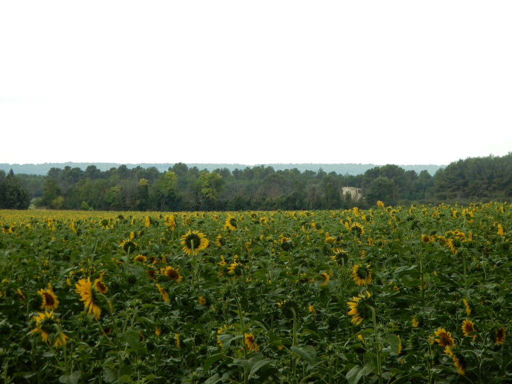 Sunflowers on A8