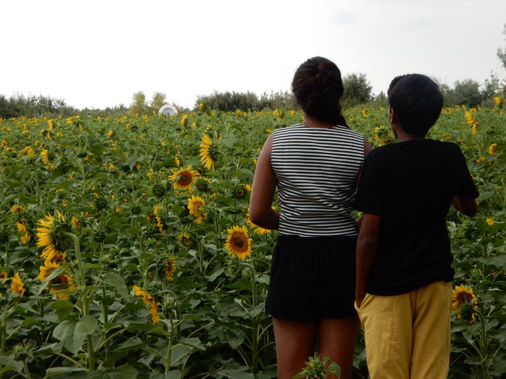 Sunflowers - os2
