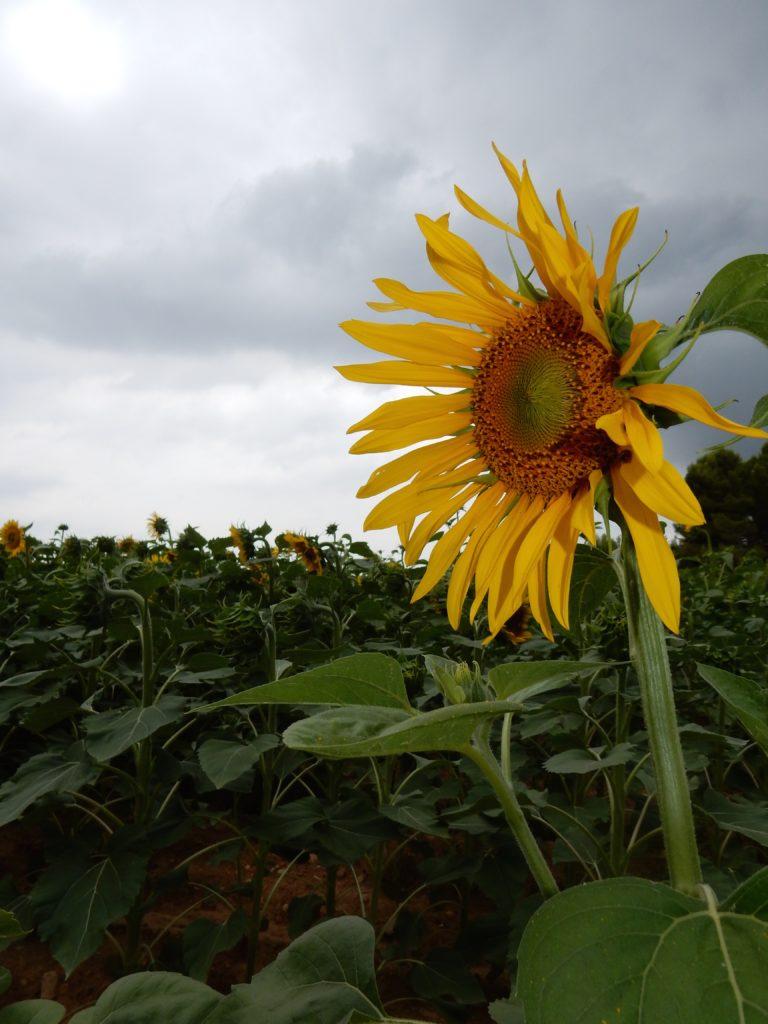 Sunflowers - os3