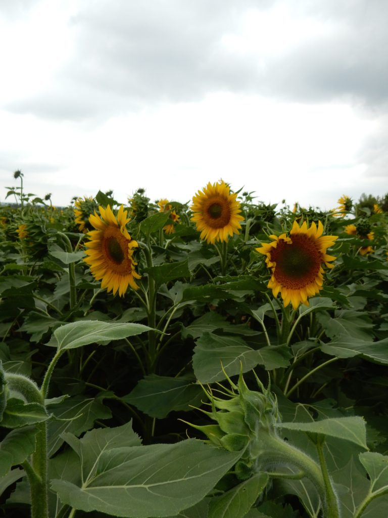 Sunflower - os4