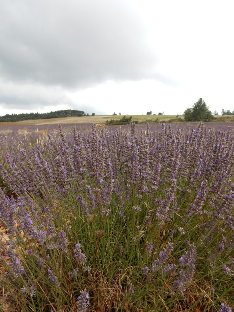Lavender - Outside suburbia10