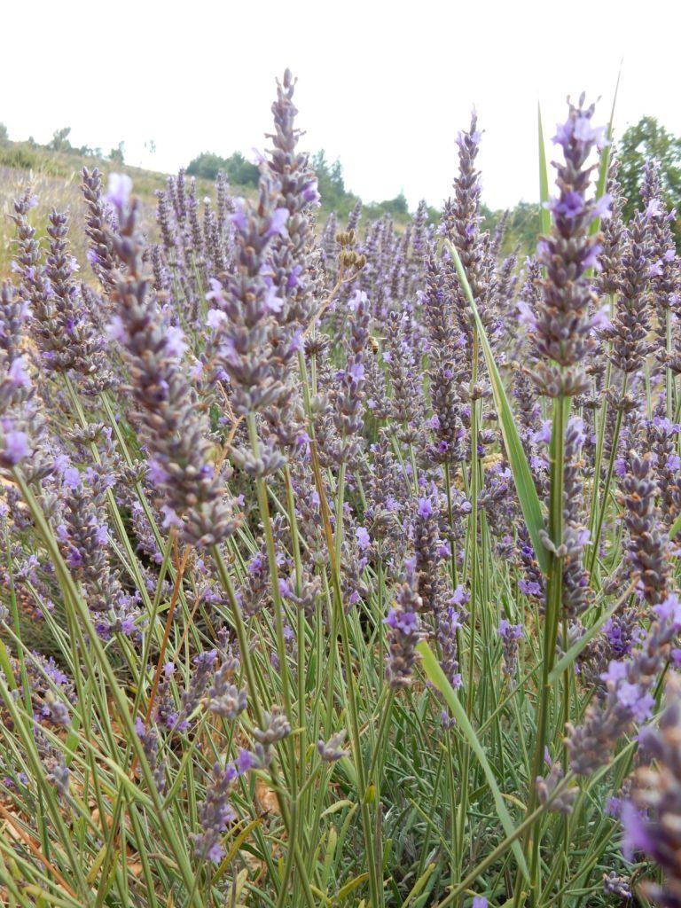 Lavender - Outside suburbia9