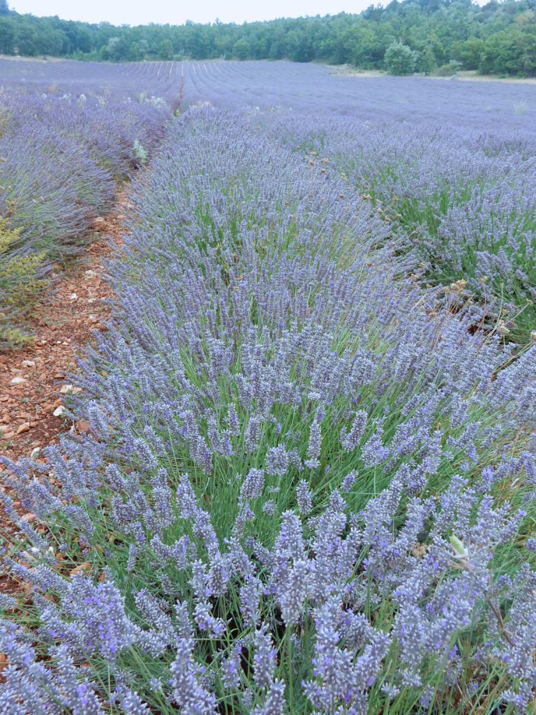 Lavender - Outside suburbia8