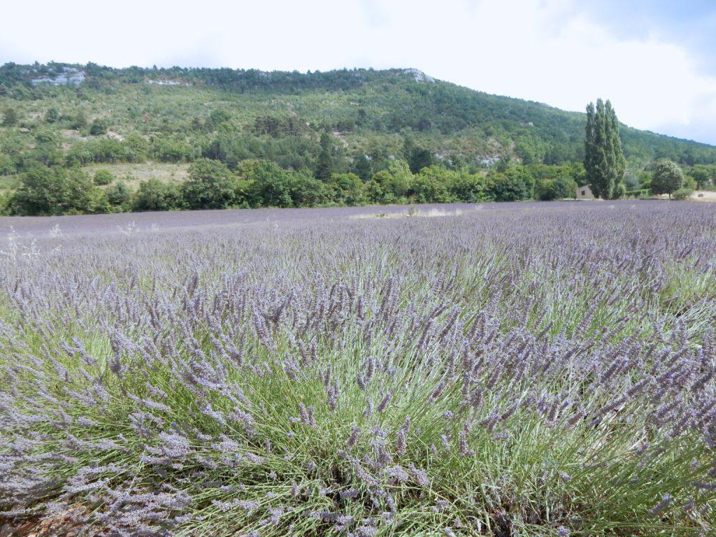 Lavender - Outside suburbia4