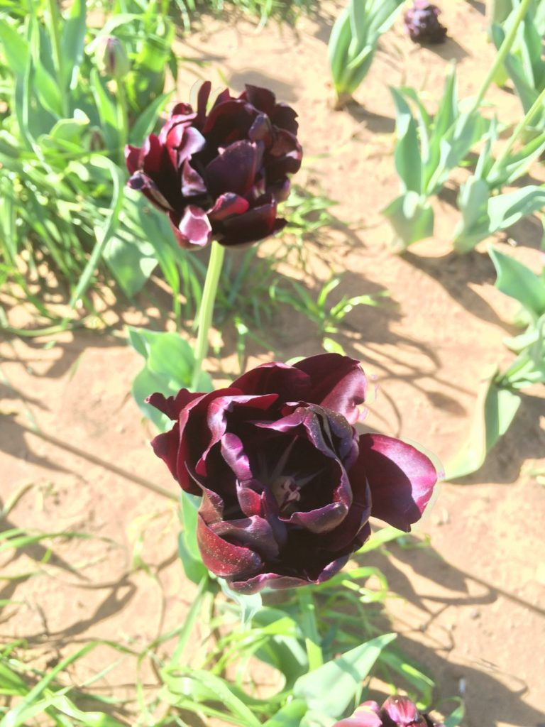IMG_tulip_purple