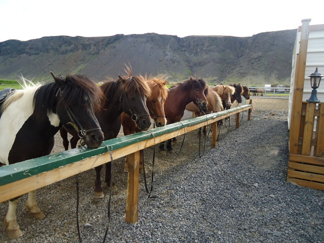 Iceland Horses - Iceland Itinerary for seeing the best of the island in a week - OutsideSuburbia.com