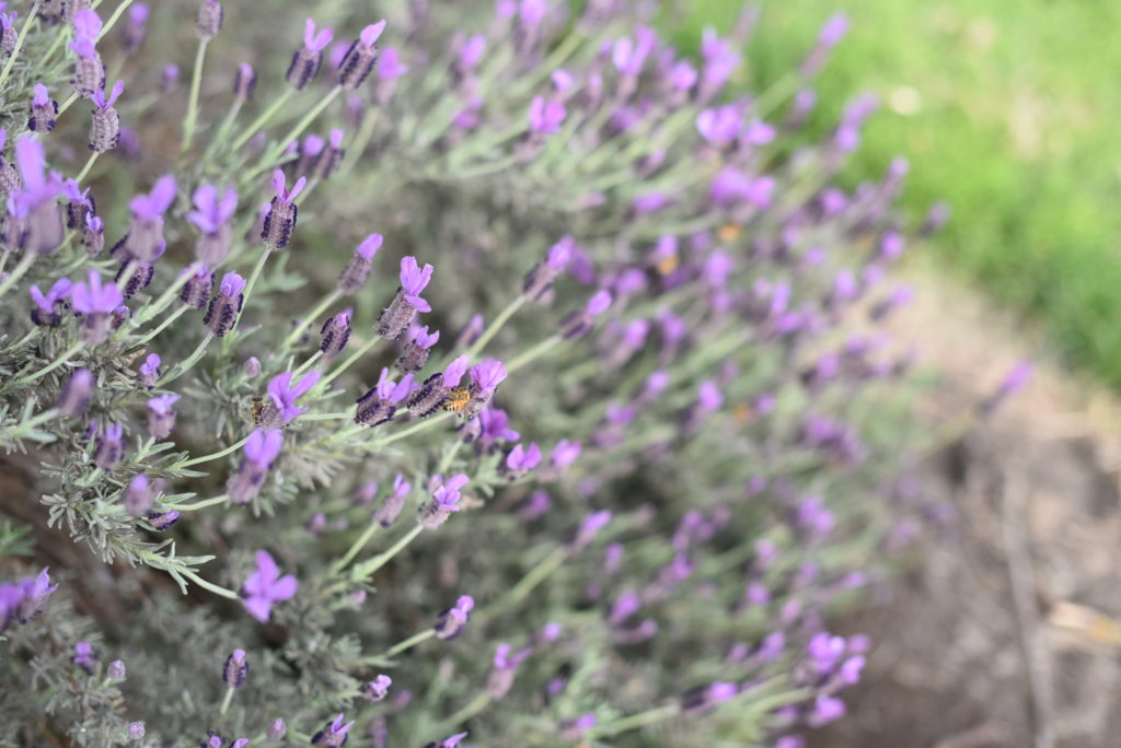 Lavender Ridge Farms, #Lavender in #Texas near #Dallas