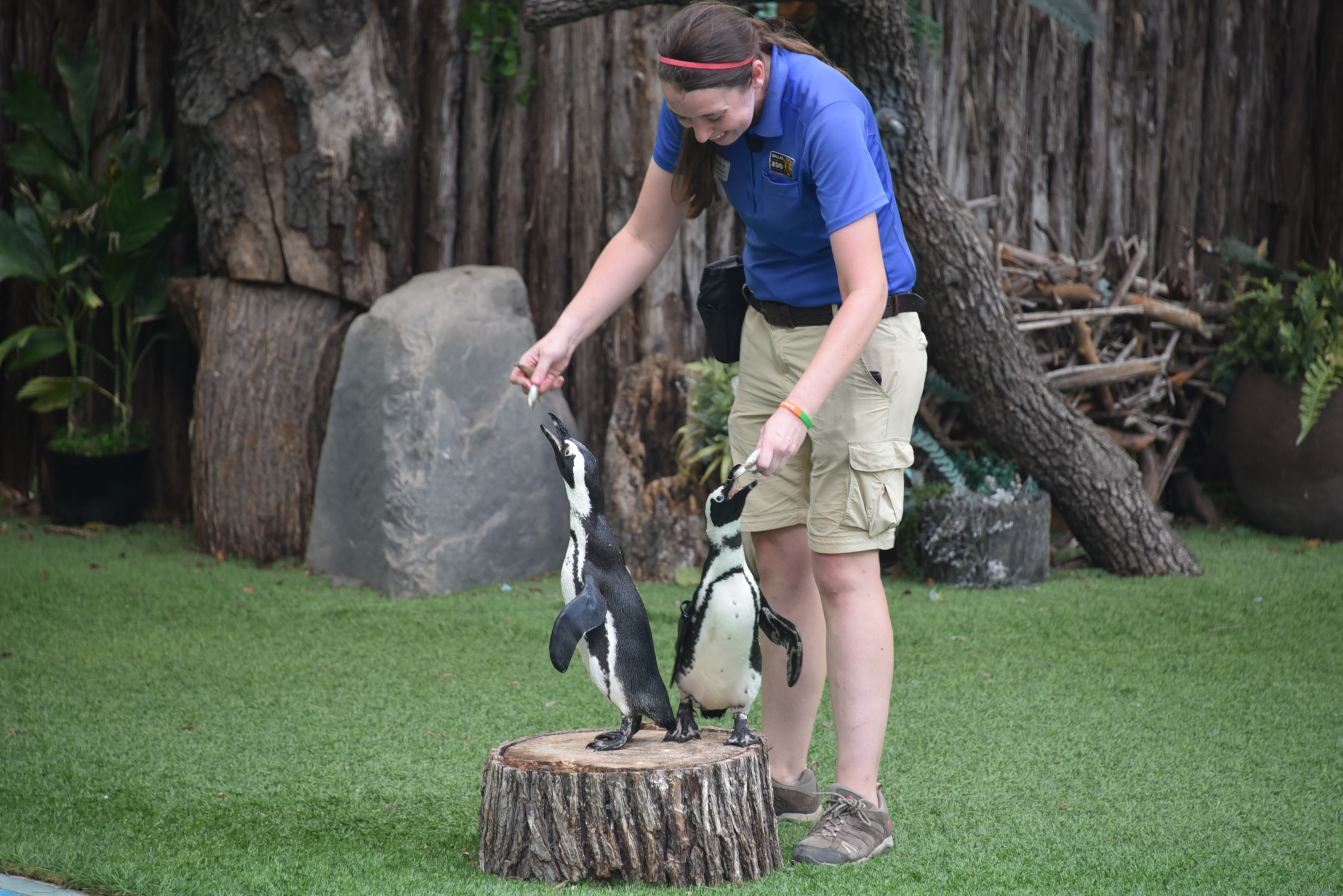 Penguins show at the Wildlife Amphitheater  - Dallas Zoo - outsidesuburbia.com