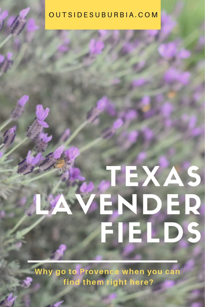 Why go to Provence when you can find these pretty purple flowers right here in the Lone Star State! See list to find the Texas Lavender Fields... #LavenderFieldsInTexas #TexasLavenderFields #LavenderFieldNearDallas #OutsideSuburbia #LavenderFields