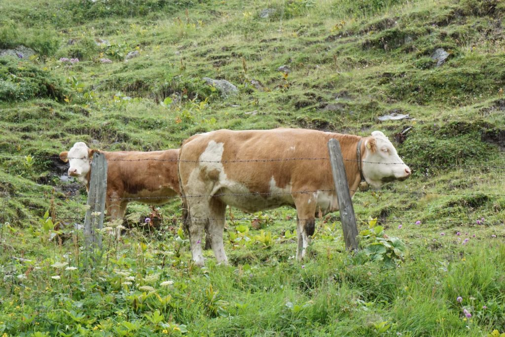 Cows at the Highest Alpine Road in Austria : Grossglockner Hochalpenstrasse #HighestAlphineRoad #Roadtrip #Austria