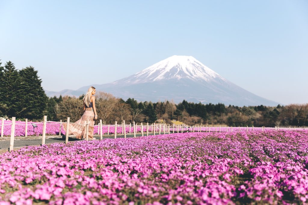 Pink flower carpets around Mt Fuji during Fuji Shibazakura Festival