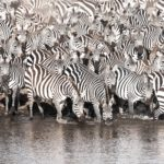 Zebras cross the Mara river #GreatMigration