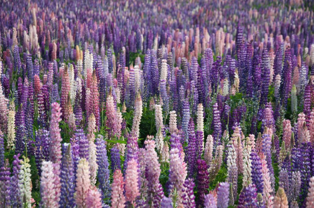 When do lupines bloom in New Zealand | Outside Suburbia
