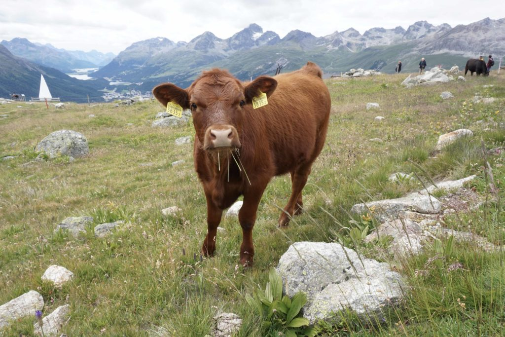 Swiss cows grazing in the open fields in Saint Moritz