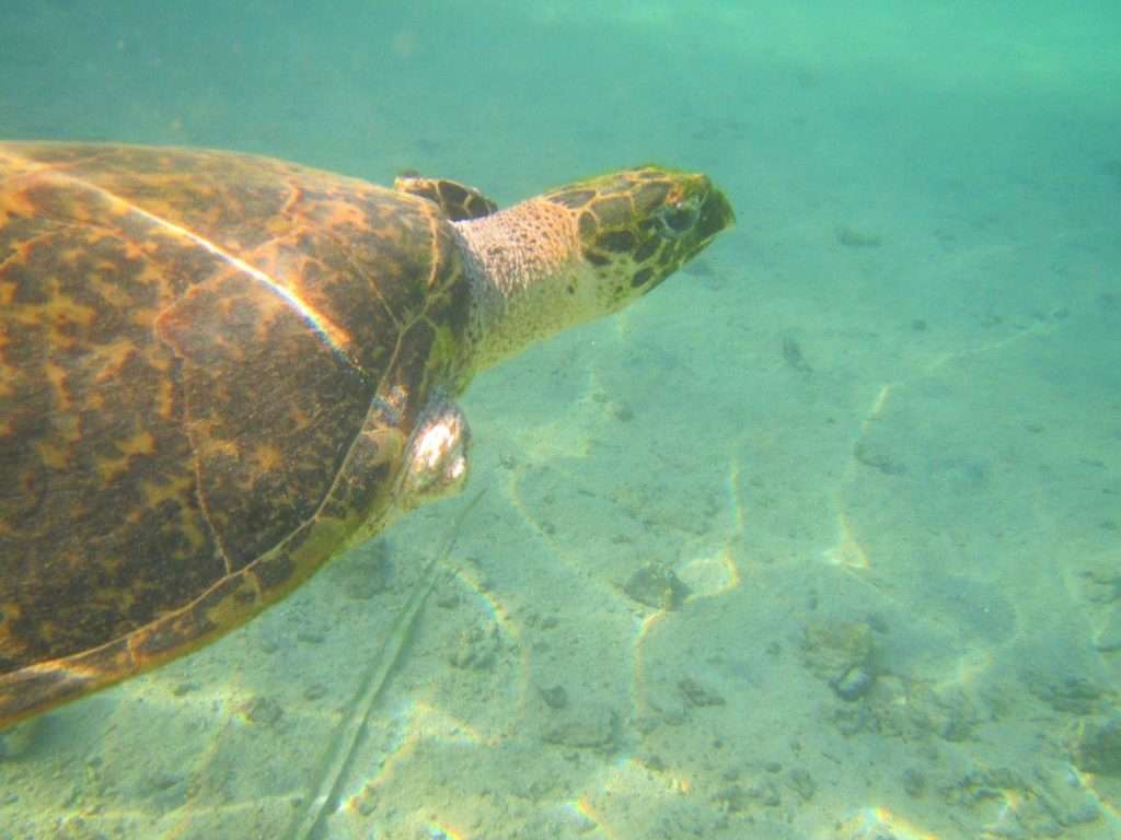 Sea turtle in Moorea