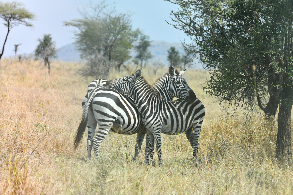 Zebras we saw during the Safari Game Drives. Four Seasons Safari Lodge Serengeti Review - Photo by Outside Suburbia