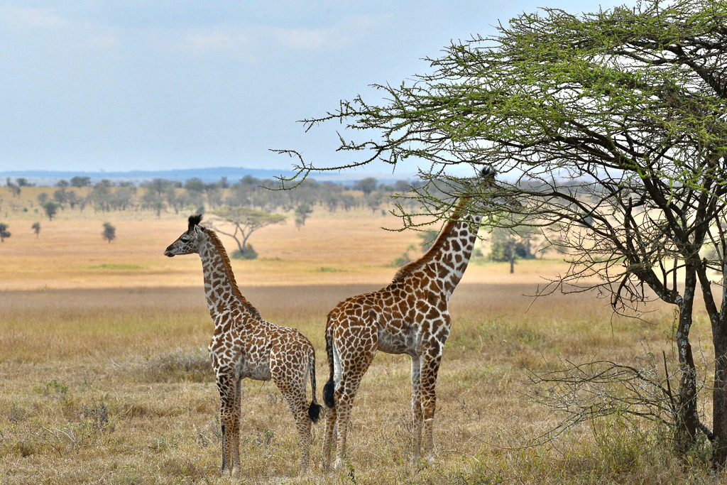 Giraffes we saw during the Safari Game Drives. Four Seasons Safari Lodge Serengeti Review - Photo by Outside Suburbia
