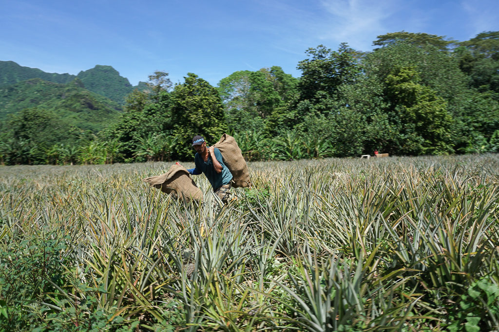 Pineapple fields in Moorea, French Polynesia - Photo by OutsideSuburbia.com
