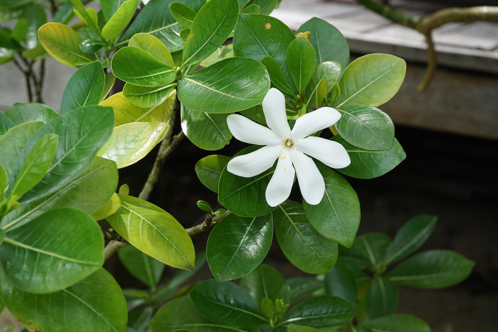 The pretty tiare flower is a symbol of Tahiti and the French Polynesia - Photo by OutsideSuburbia.com
