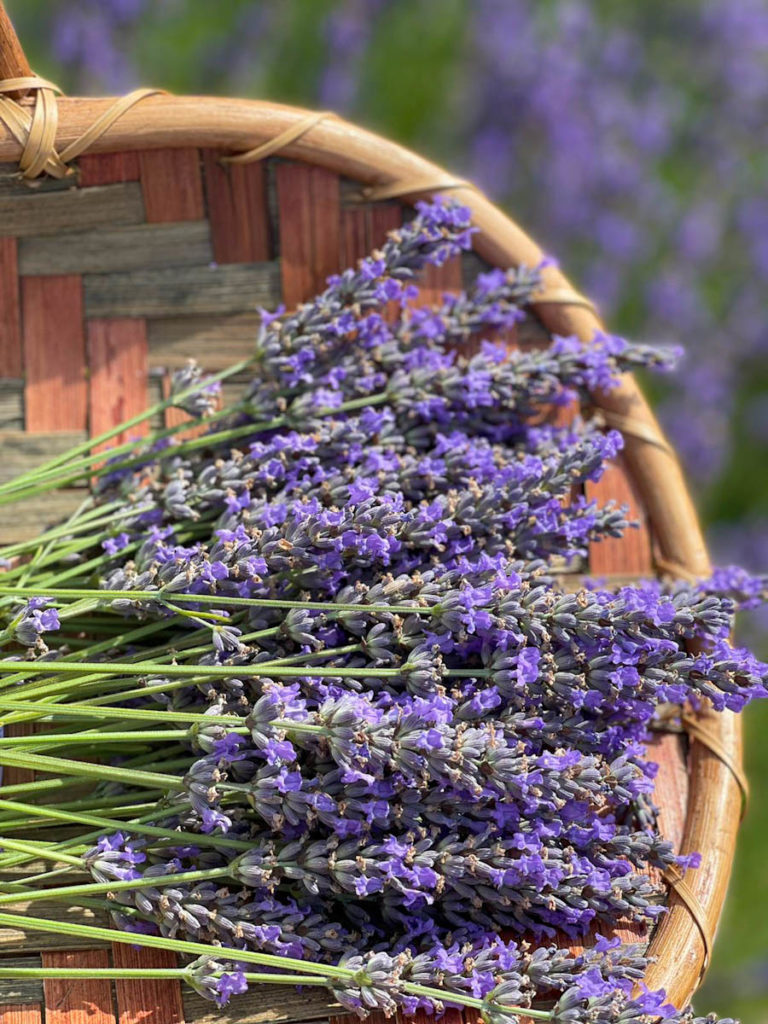 Lavender fields in Texas   OutsideSuburbia