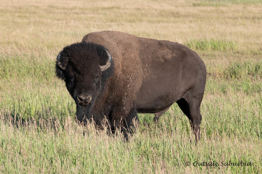 A Safari in Wyoming at the Grand Teton - Photo by OutsideSuburbia.com