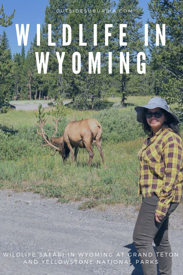 Wildlife in Wyoming at the Grand Teton and Yellowstone National Parks | Outside Suburbia