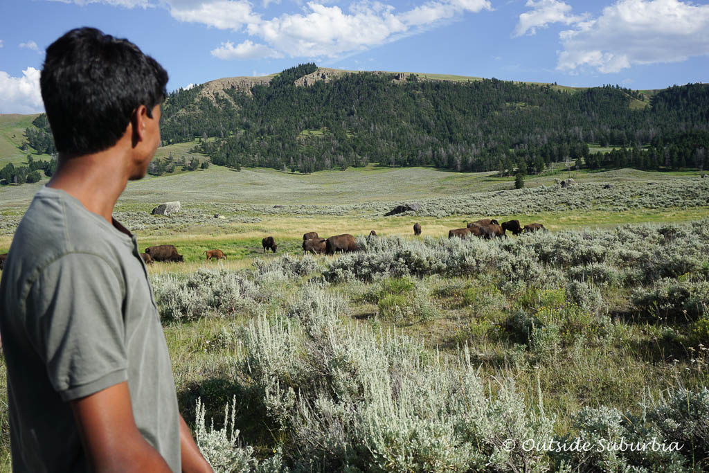 Bison spotting is easy in Lamar Valley, the American Serengeti - Photo OutsideSuburbia.com