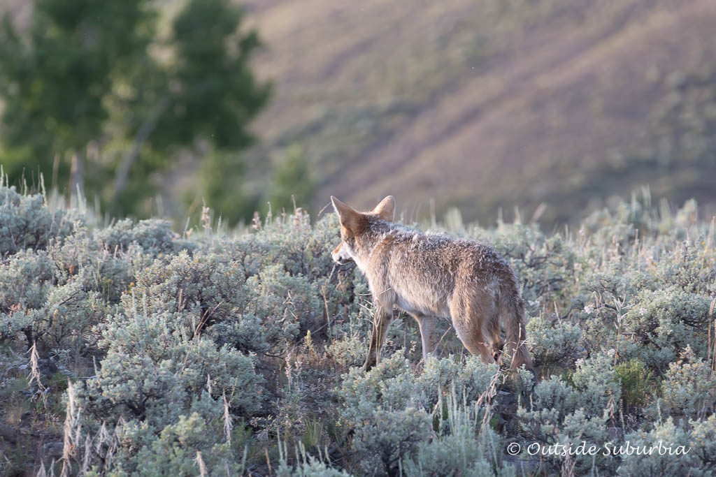 A Fox we spotted at Lamar valley, Yellowstone - Photo by OutsideSuburbia.com