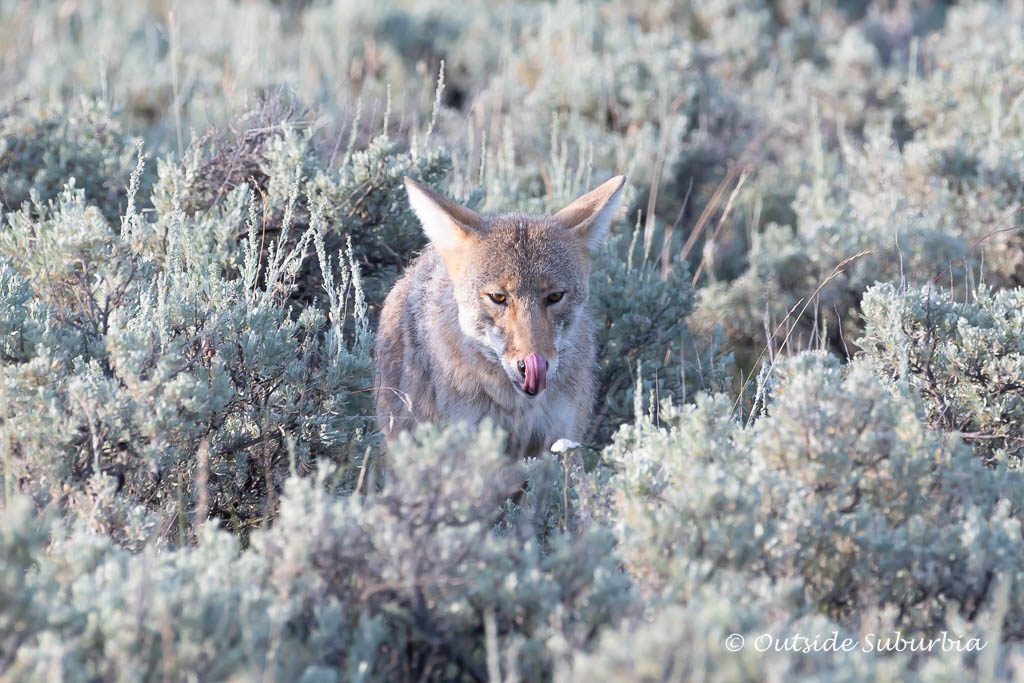 A Safari in Wyoming at Yellowstone - Photo by OutsideSuburbia.com