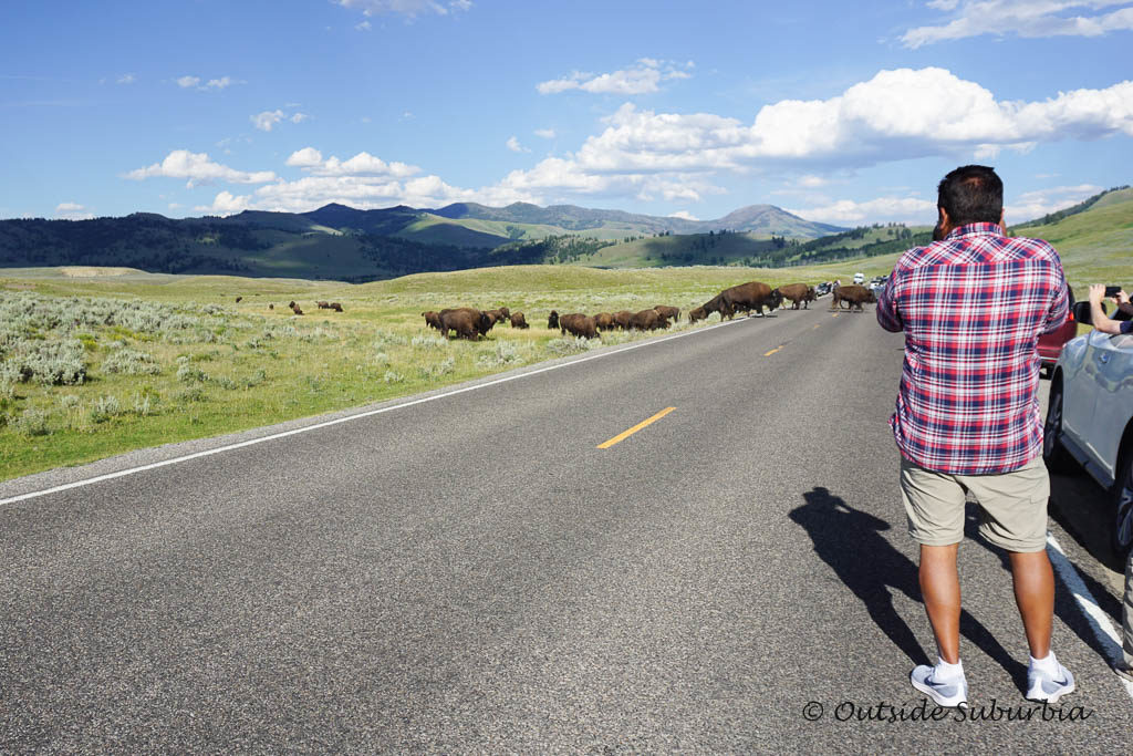 Where to see Wildlife at Yellowstone - Photo by OutsideSuburbia.com
