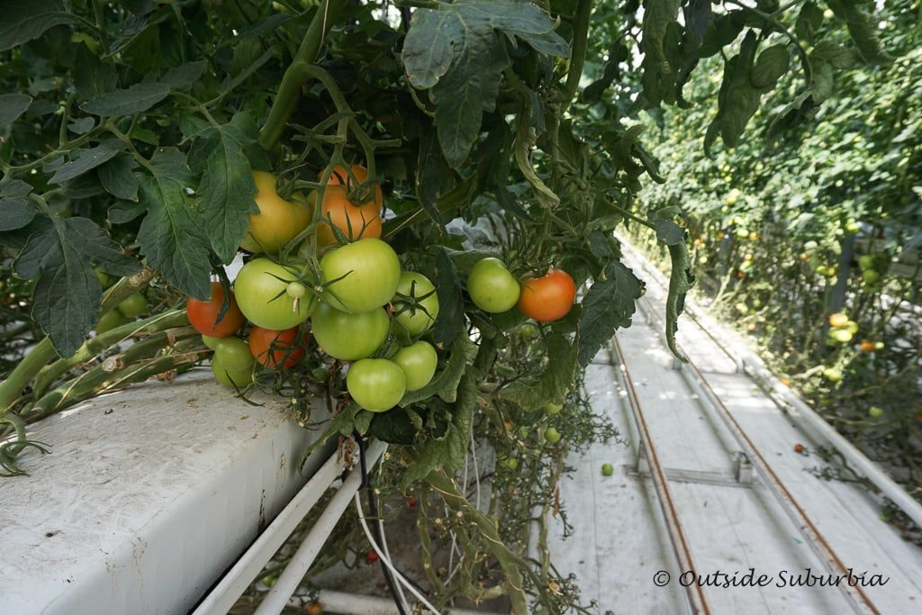 Tomatoes at Friðheimar Greenhouse - OutsideSuburbia.com