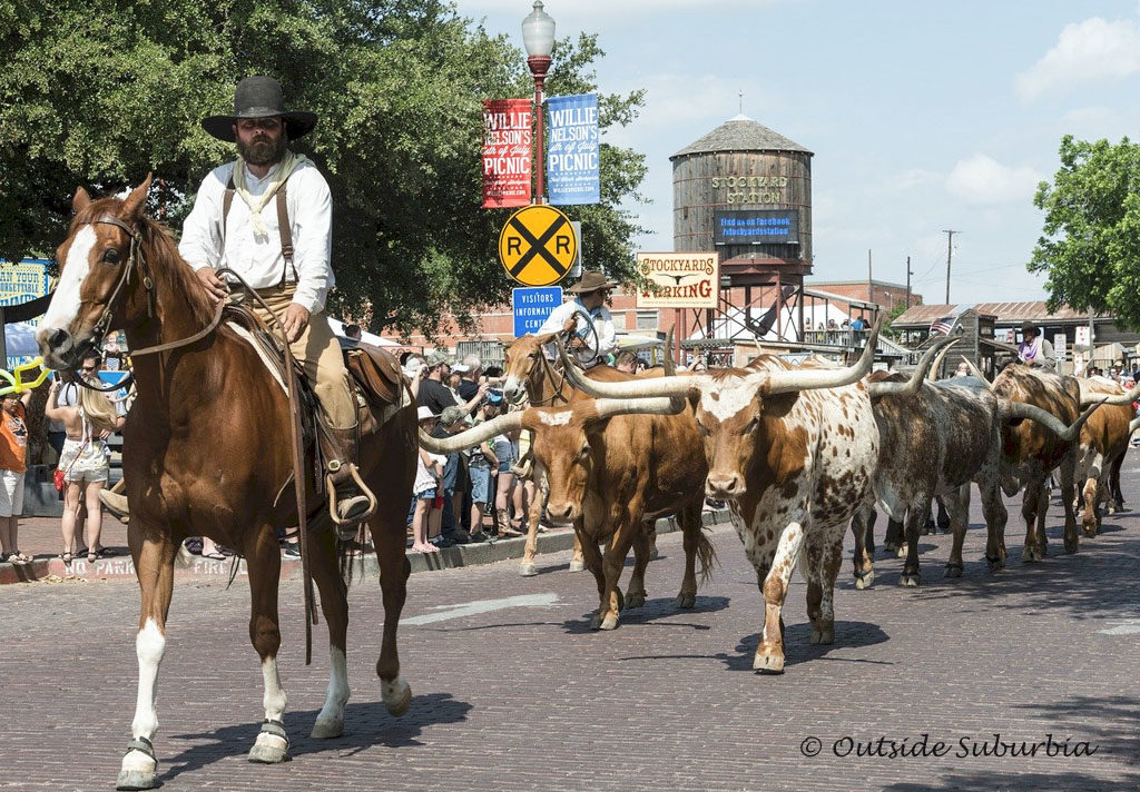 Cattle drive featuring the famous Texas Longhorns at the Fort Worth Stockyards