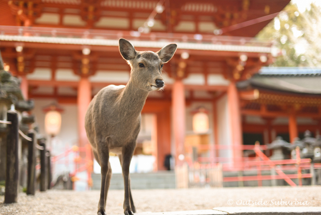 Deer in Nara - Two week Japan Itinerary - Photo by Outside Suburbia
