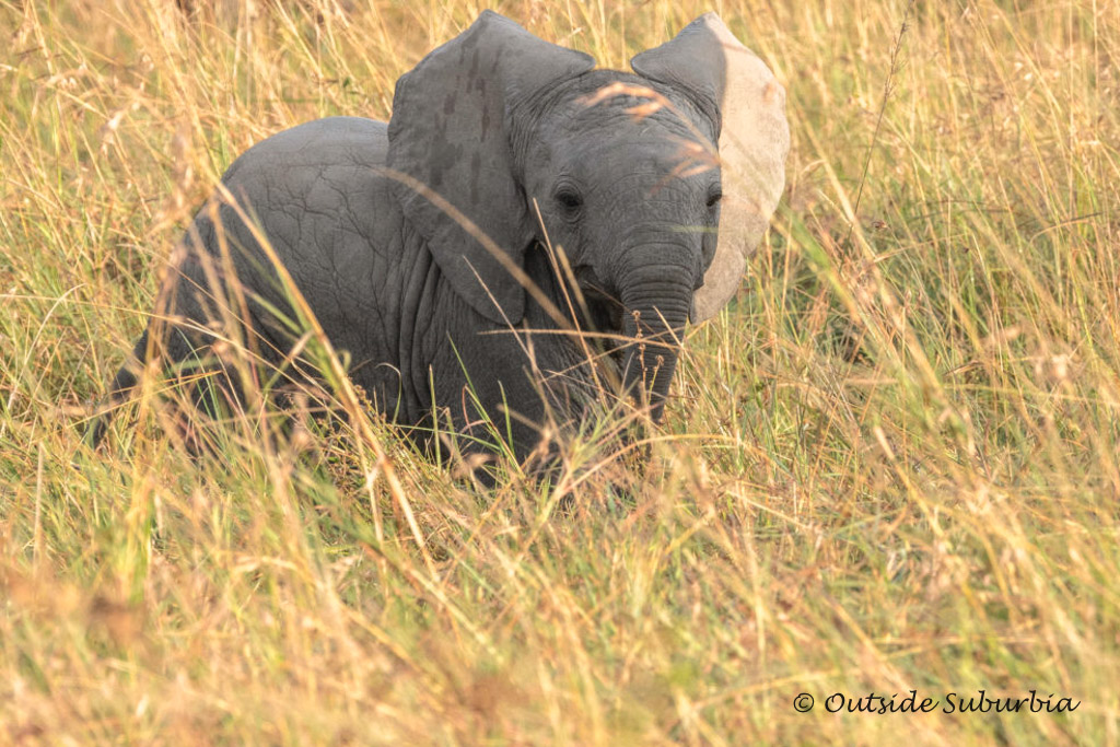 A little elephant out in Masai Mara, Kenya - her family was not far away |  OutsideSuburbia