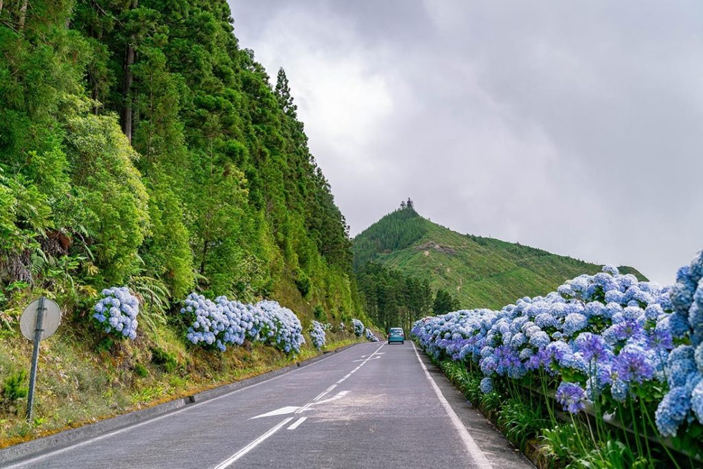 Blooming blue hydrangea flowers in  Sao Miguel, The Azores