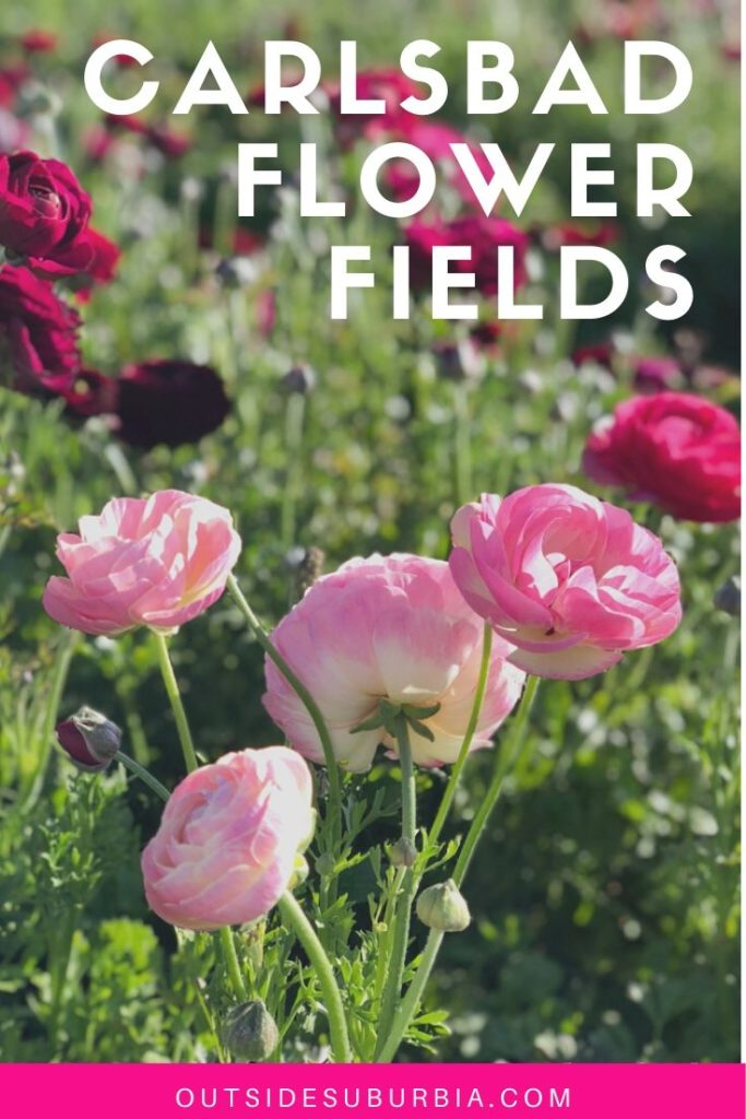 A Riot of Color, Ranunculus at the Carlsbad Flower Fields in California | Outside Suburbia