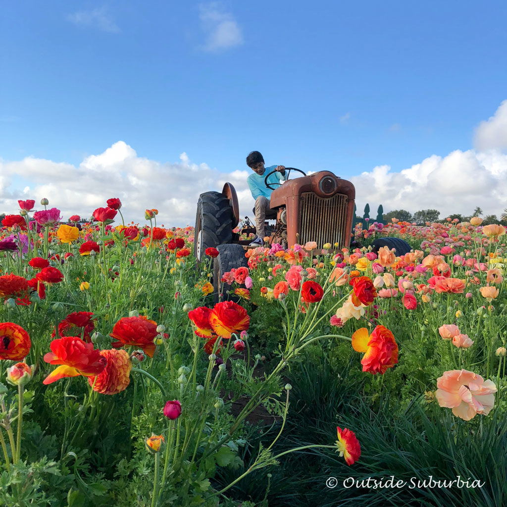 The Flower Fields at Carlsbad, California - outsidesuburbia.com