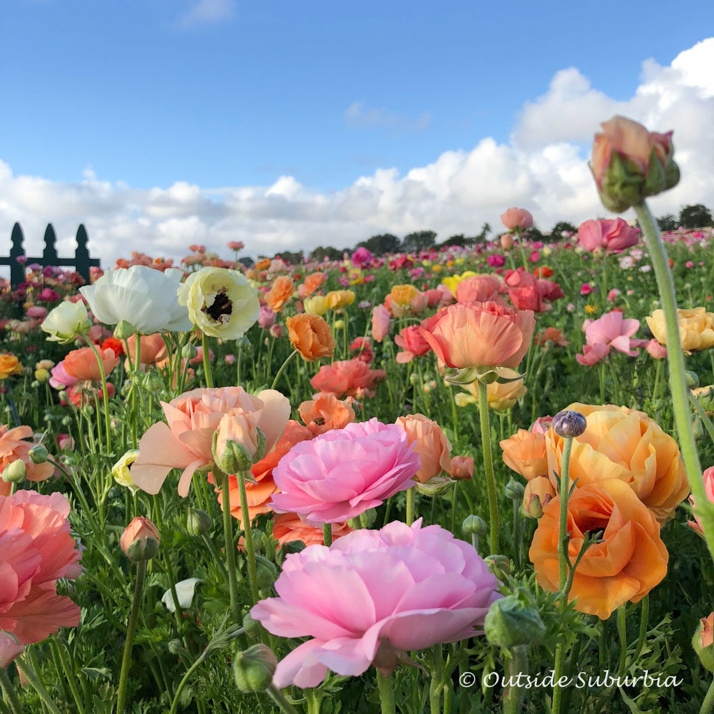 Ranunculus at the Carlsbad Flower Fields - outsidesuburbia.com