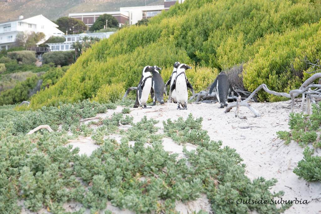 Penguins at Boulders Beach Penguins, Cape Town - outsidesuburbia.com