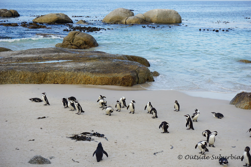 Boulders Beach Penguins, Cape Town - outsidesuburbia.com