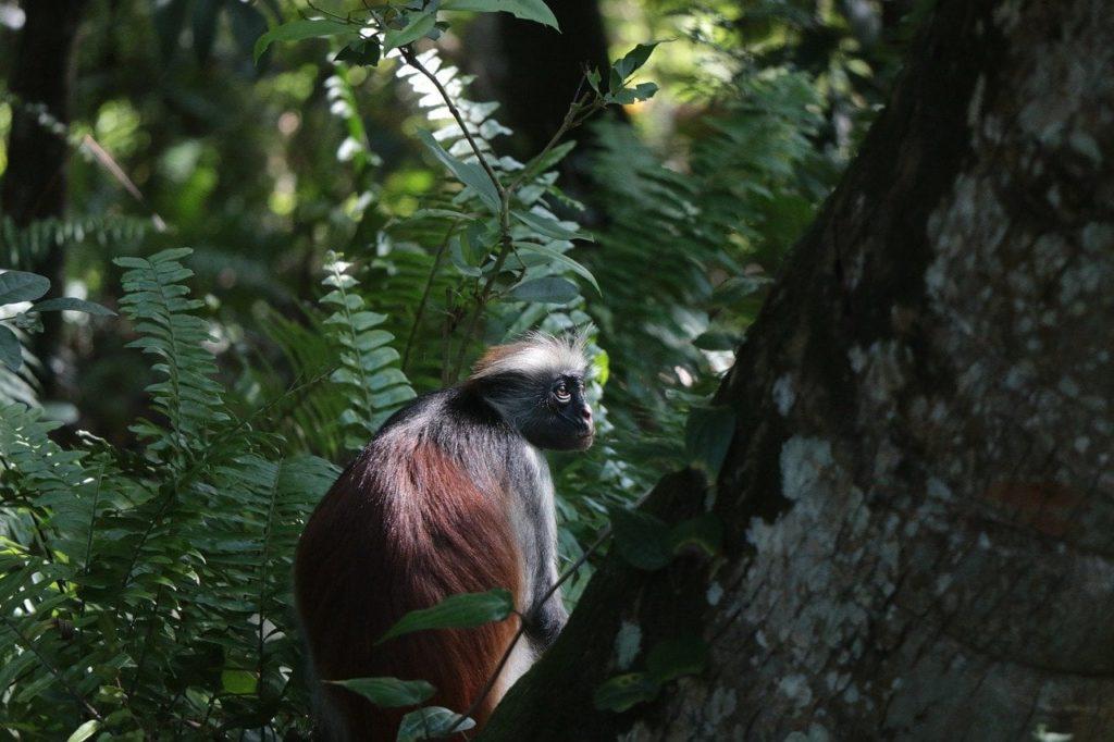 Monkeys in Jozani Chwaka Bay National Park