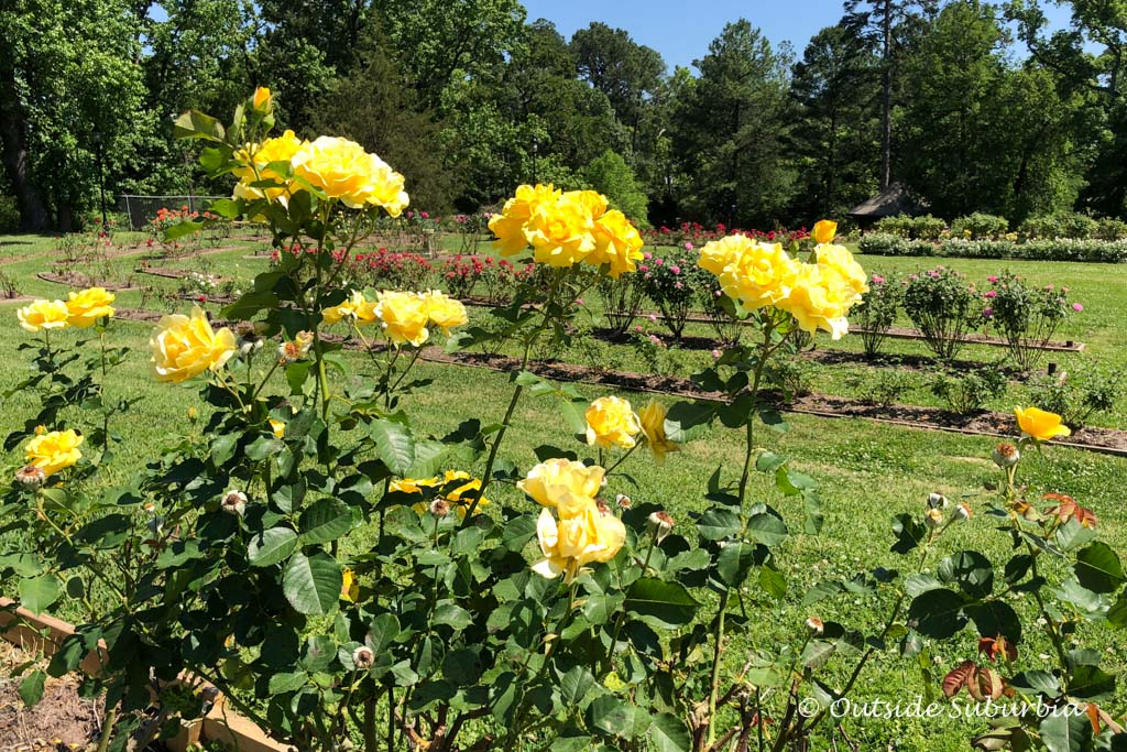 My favorite, yellow roses... Tyler Rose Garden - Outside Suburbia