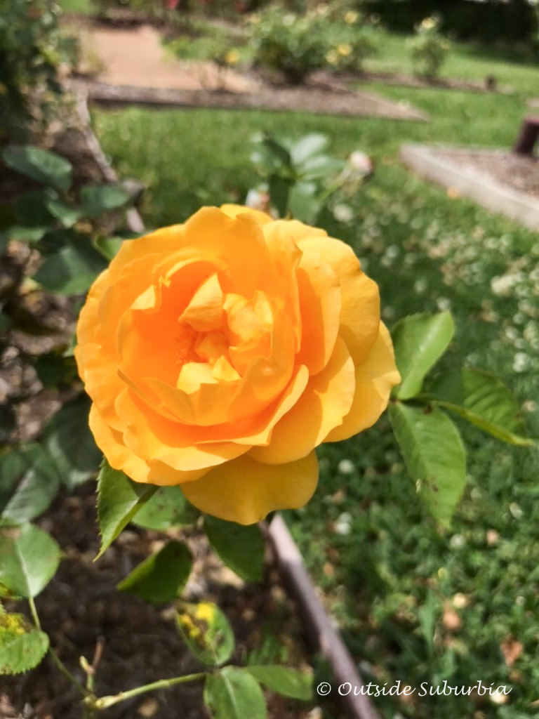 Julia Child Rose at the Tyler Rose Garden - Outside Suburbia