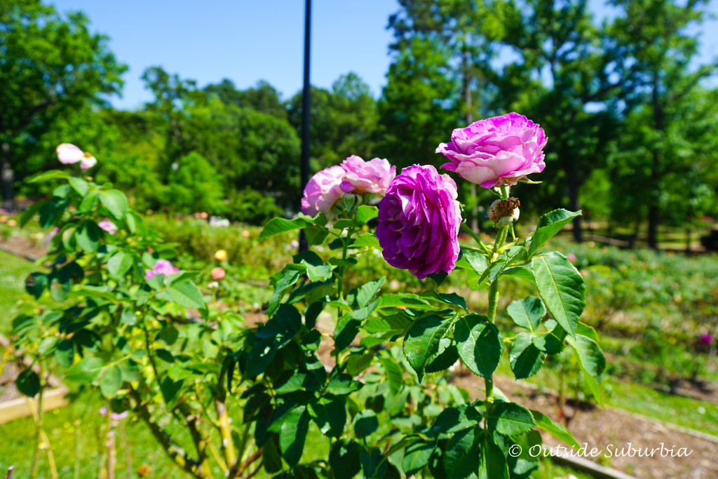 An early Mother's Day outing to the Tyler Rose Garden - Outside Suburbia