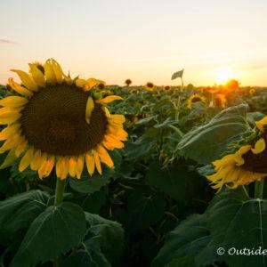 Sunflower fields near Dallas | Outside Suburbia