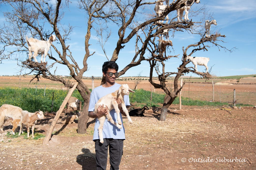 Tree Goats in Essaouria, Morocco  | Outside Suburbia
