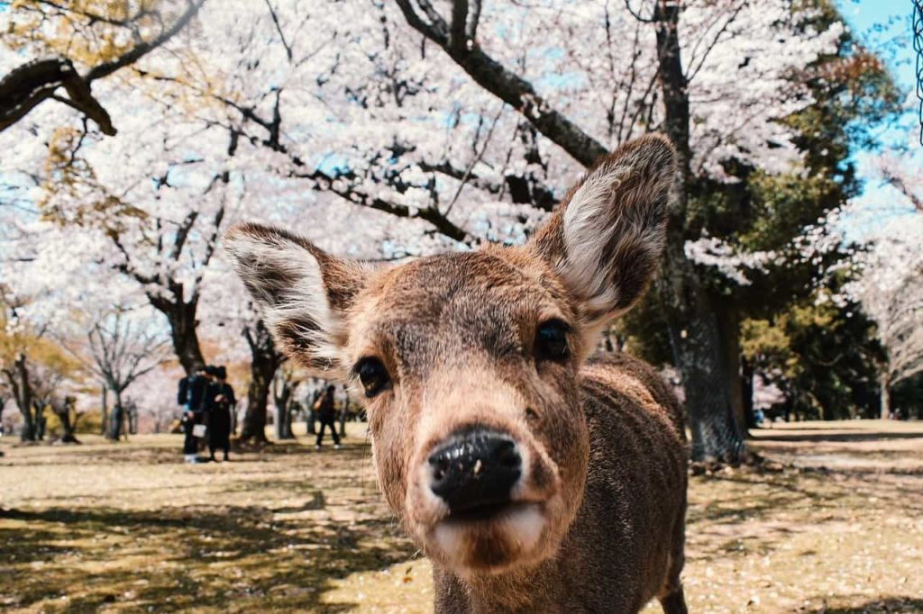 Nara Park, Japan | Outside Suburbia